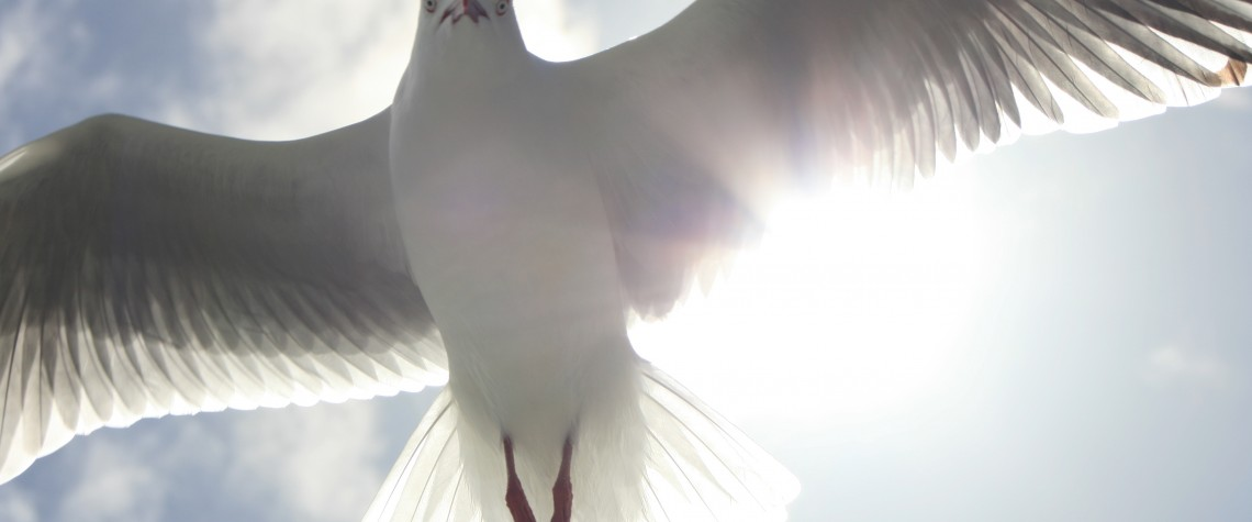 9451_Sea_gull